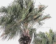 Windy Palm